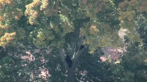 Bear and Cub Get Stuck in Tree