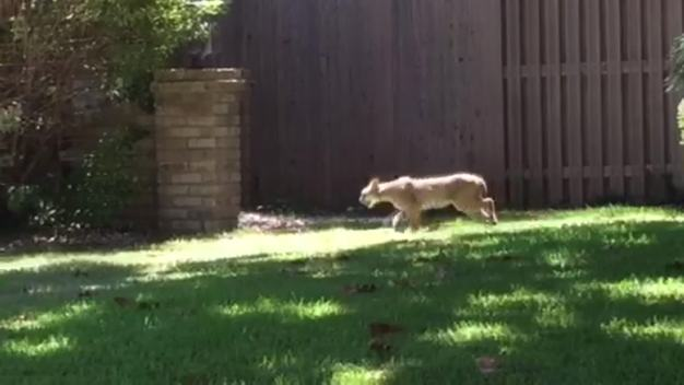 Plano Man Fights Off Bobcat During Dog Walk