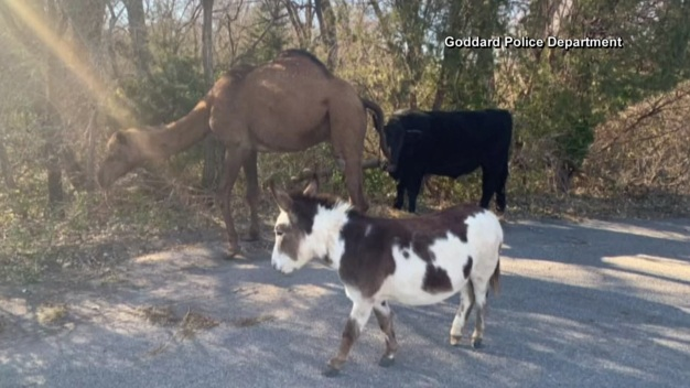 Camel, Cow and Donkey Back With Owner After Strolling Down a Road