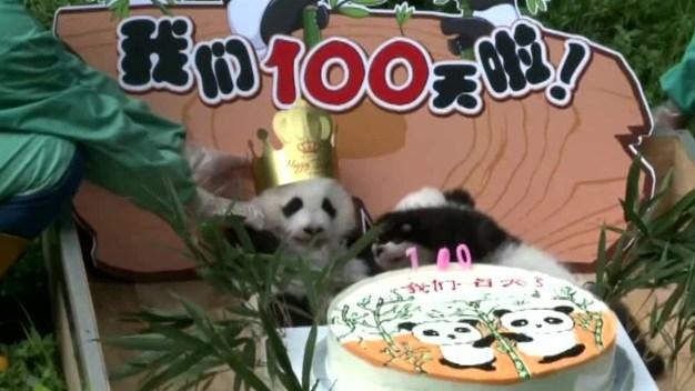 Cute Pandas Celebrate 100 Days