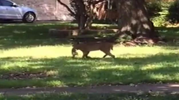 Caught on Camera: Bobcat Captivates Dallas Neighborhood
