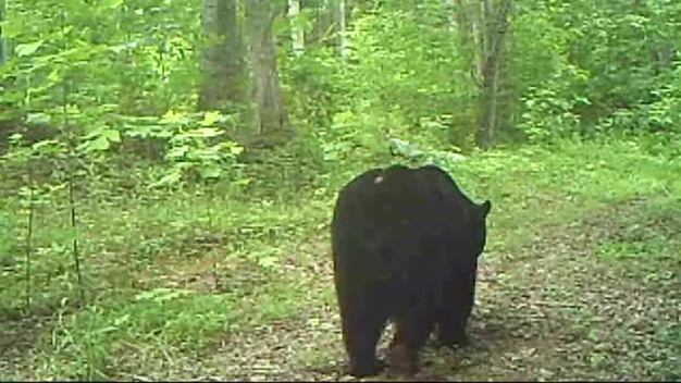 Home Surveillance Cameras Capture Bears Strolling