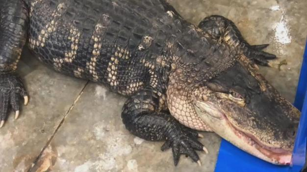 'Katfish' the Gator Gets New Home