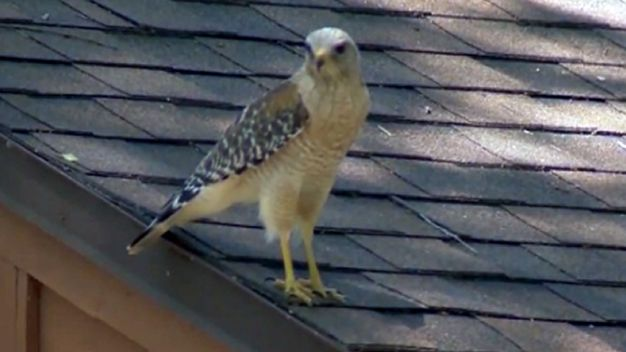 Hawk Attacks Leave Neighbors on Edge