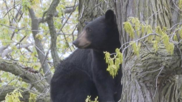 Wandering Bear Returns to Wild