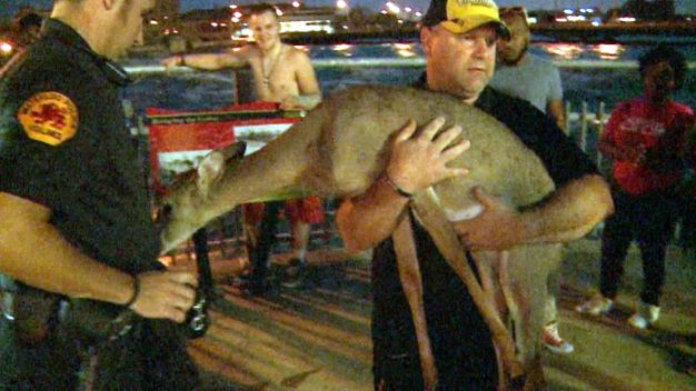 Man Braves Flood Waters to Save Deer