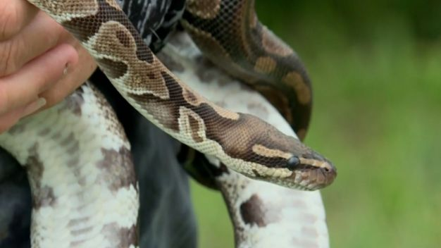 Family Encounters and Rescues Python While on Hike