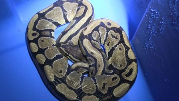 Python Found in Rat's Blanket