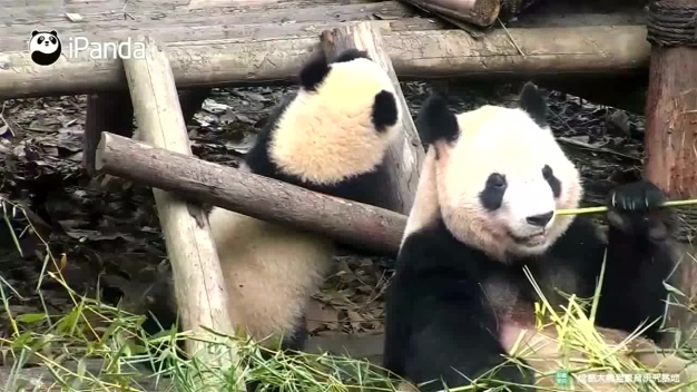 Playful Panda Parent