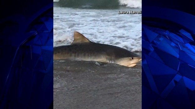 Tiger Shark Captured Caught On Camera