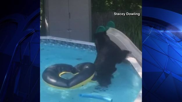 Big Bear Plays In Pool