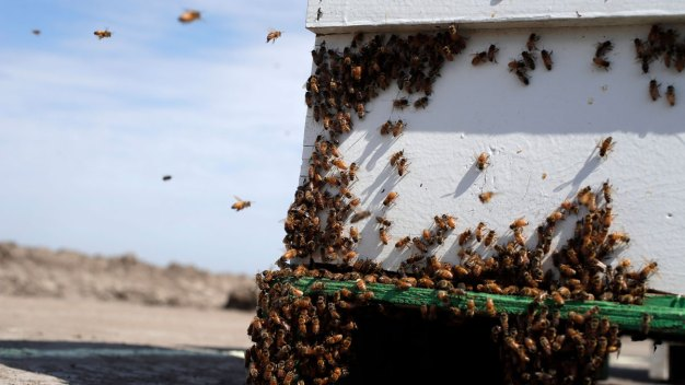 Montana Beekeeper Stung by Beehive Thieves in California
