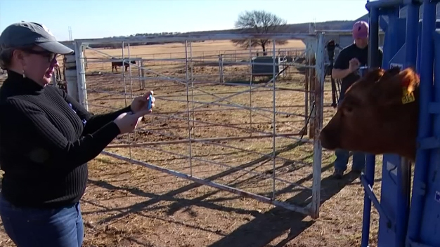 North Texas Testing Activity Trackers For Cattle