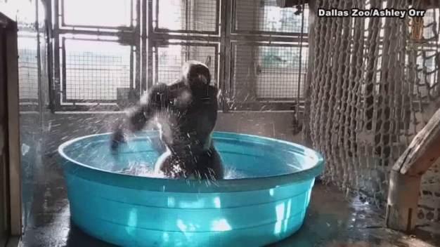 Dallas' 'Breakdancing' Gorilla Really Loves His Pool