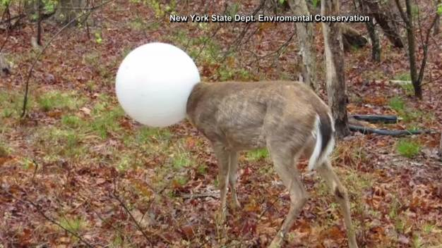 Deer Stuck in Light Globe