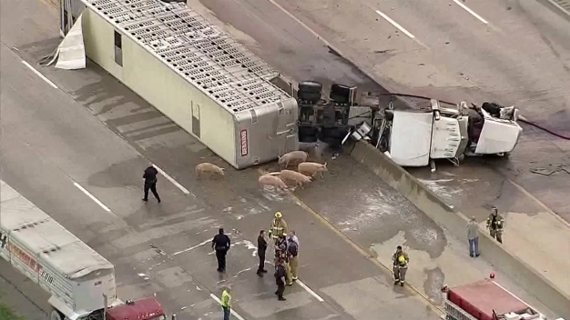195 Pigs in Trailer That Crashed on I-45: Police