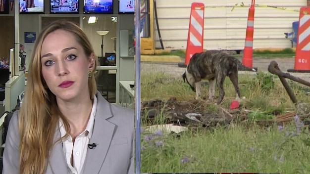 The DMN's Sara Mervosh -  Animal Services Overhaul