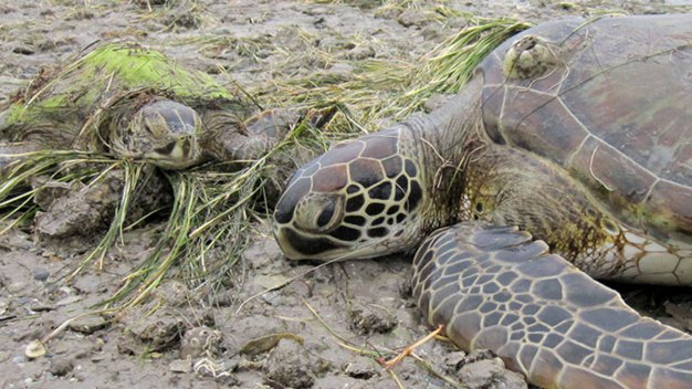 Virus Threatens Endangered Sea Turtles Along Texas Gulf Coast