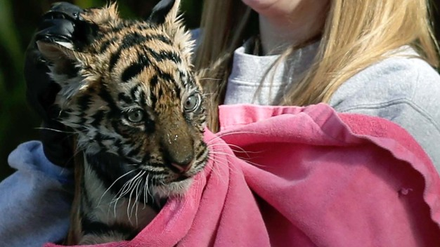 Zoo Launches 'Endangered Song' to Help Save Tigers