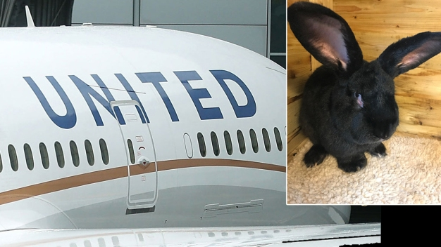 Giant British Rabbit Dies, Adding to United Airlines' Issues