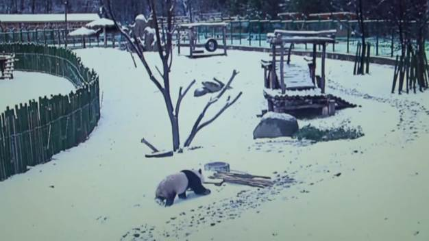 Panda Plays In Snow