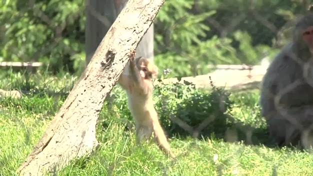Baby Snow Monkey Makes Debut