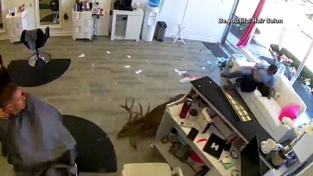 Deer Crashes Through Salon