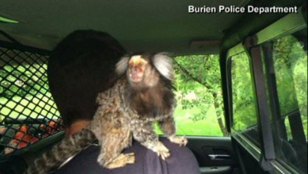 Man Crashes Car With Monkey on His Back