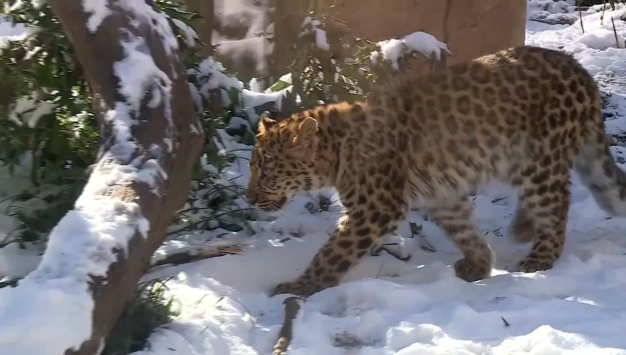 South Carolina Zoo Animals Play in the Snow