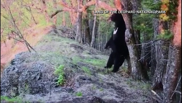 Video Catches Bear Bite Camera