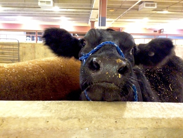 Junior Exhibitors Settle in at Stock Show