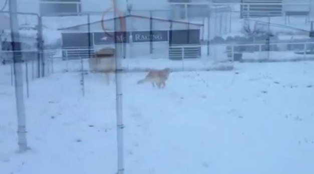 Golden Retriever loves snow