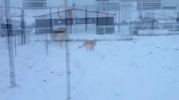 Golden Retriever loves snow