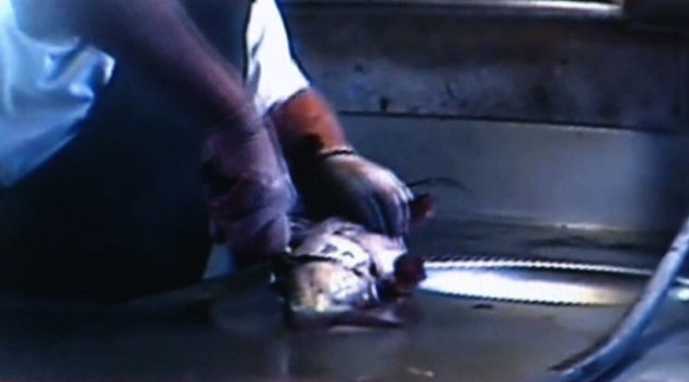 [DFW] WARNING DISTURBING IMAGES: Fish-Filleting Video Controversy