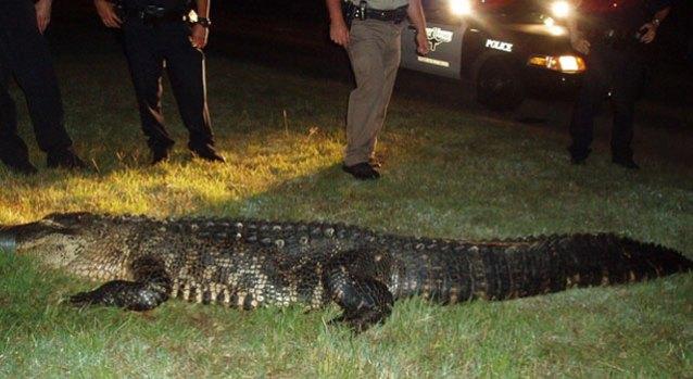 Gator Found in East Fort Worth Neighborhood