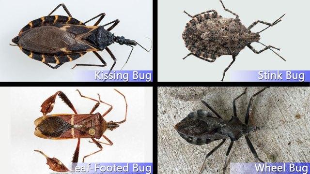 Hidden Threat: Identifying Kissing Bugs From Similar Bugs