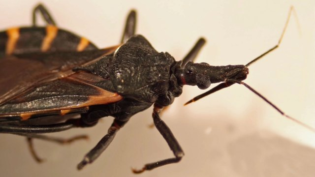 Hidden Threat: The Kissing Bug: Hundreds of Texas Dogs Infected With
