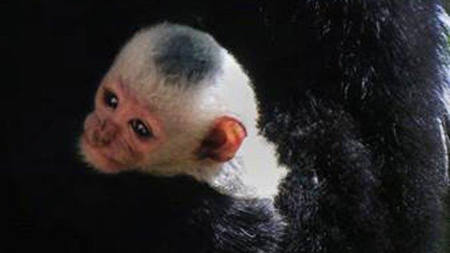 Baby Colobus Monkey Born at Dallas Zoo