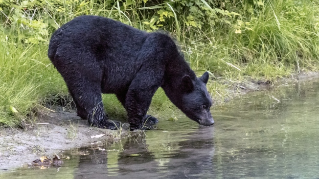 Bear Escapes Habitat to Swim in Seals' Pool