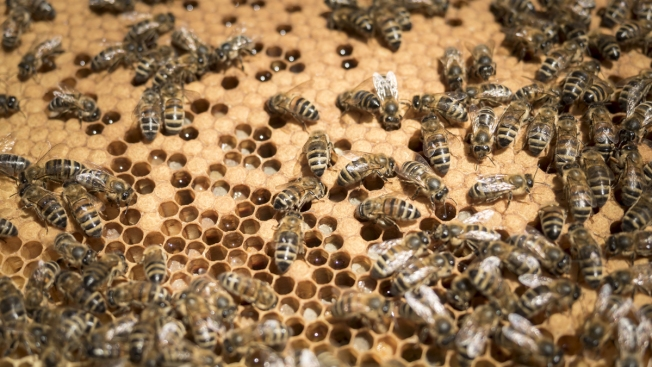 Sweet Home Nebraska: Honey Flows From Bee-Infested Omaha Attic