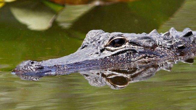 Alligator Attacks Homeless Man in Florida River: Police