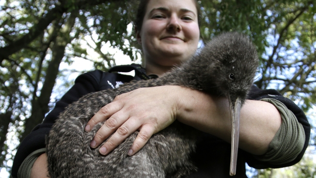 New Zealand's Big Plan to Save Its Birds: Kill Every Rat