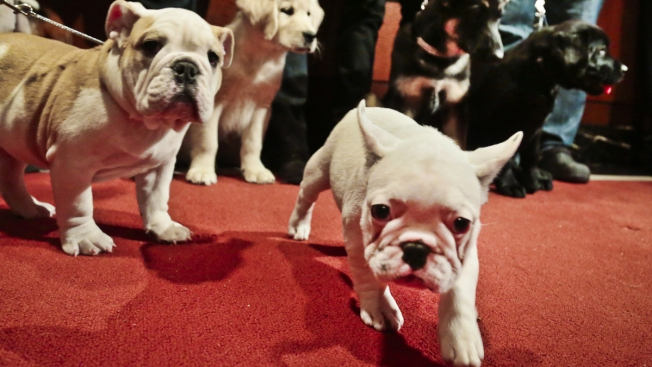 Most Popular Dogs: Labs Still Lead But French Bulldogs Rise
