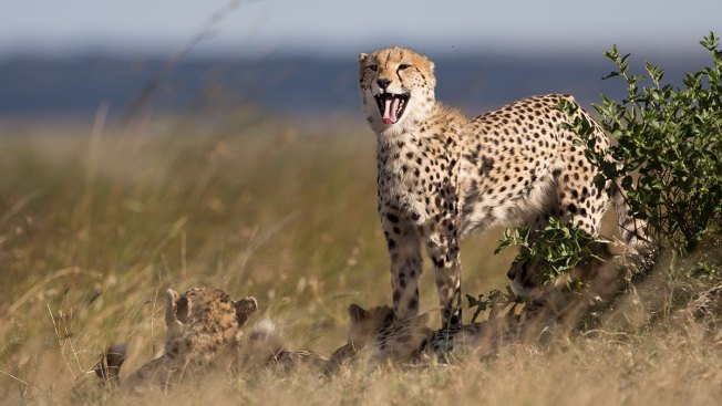 Cheetahs at Risk of Extinction as African Habitat Shrinks: Study