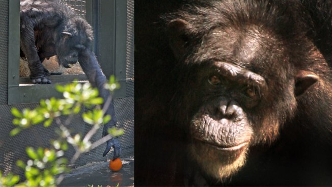Dallas Zoo Grieves 'Death In The Family': Bon Bon the Chimp, Its Oldest Tenant
