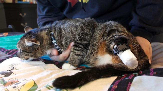 Wisconsin University Helps Cat Get New Back Legs