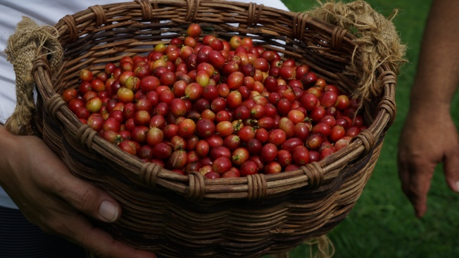 Puerto Rico's Coffee Sector Is at Risk From Another Disaster — Droughts