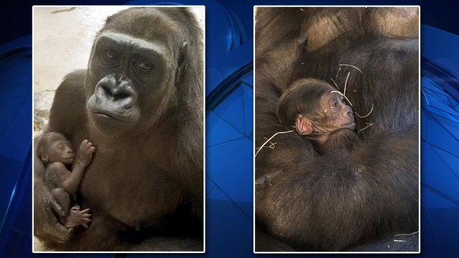 Dallas Zoo Welcomes 2nd Baby Gorilla in Last Year