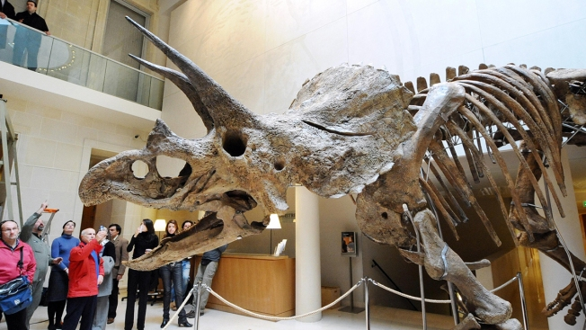 College Student Who Grew Up Loving Dinosaurs Found a 65-Million-Year-Old Partial Triceratops Skull