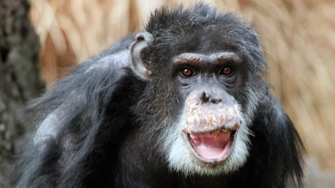 Dallas Zoo's Oldest Chimpanzee Dies at Age 49